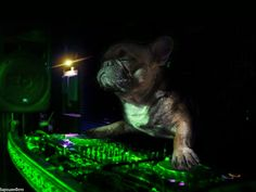 French Bulldog DJ