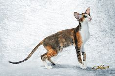 GC NW Winterfrost Hippy Shake GLR Best Kitten Bi-Color Oriental Shorthair Female