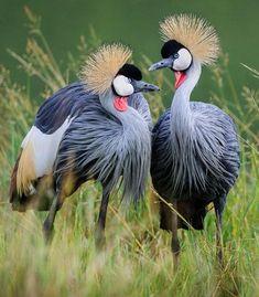 Easy African Crowned Cranes