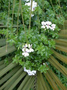 Cascade Beauty White 100 Geranium Seeds