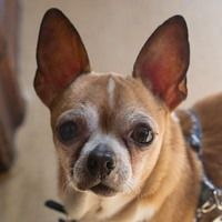 Cute Muttville mutt: Elliot 1912 (Chihuahua | Male | Size: small (6-20 lbs))