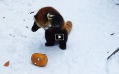 It looks like red pandas enjoy the winter period and if there is a pumpkin involved they go crazy. This cute little red panda is trying to catch the pumpkin without much success. The snow makes the pumpkin very slippery and hard to catch but the panda doesn't give up.