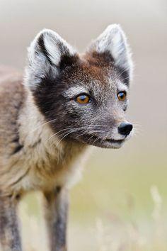Arctic Fox by Elliott Neep. Join ORYX Photographic Expeditions on a 11-day photographic wildlife safari in Spitsbergen with international award winning photographer Elliott Neep.
