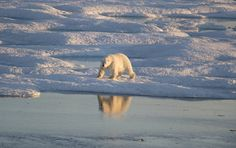 Polar Bear On Ice, Arctic, Canada, Island, Dogs, Animals, Block Island, Animales, Animaux