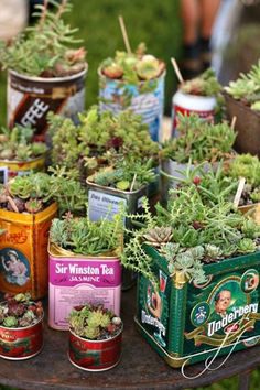 succulents in colorful tins