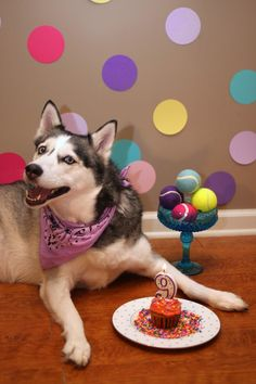 Happy 9th birthday to my Siberian husky puppy! :)  Dog Birthday Party Photo Shoot