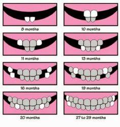 Easy to understand baby teeth chart. #Dentist #Babyteeth #Hygienist Google+