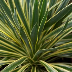Yucca+gloriosa+Variegata+-+Adams+Needle