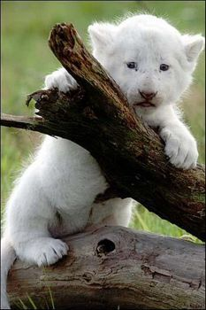 he looks like an old soul in a baby's body Albino Cat, Rare Albino Animals, Big Cats, Cats And Kittens, Cute Cats, Siamese Cats, Cute Baby Animals, Animals And Pets, Funny Animals