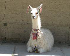 La llama, camélido peruano: Las utilidades de la llama
