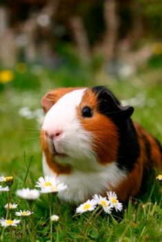 A Navajo coloured #guinea #pig.