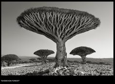 Beth Moon, Yemen, tree, Dragon's Blood, Socotra - Portraits of time
