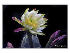 """Cacti"" - © vienna1931 (Flickr)"