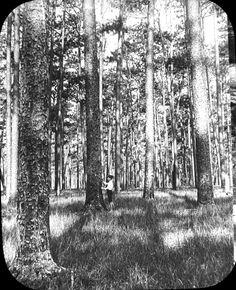 Close view of a Pinus palustris forest, Baldwin County, Alabama, 1902