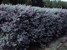 Texas purple sage bush - fast growing drought tolerant.