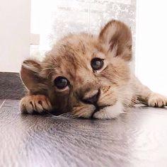 lion cub | cute | baby | face | little | roar | ears