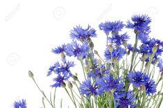 cornflower white - Google Search