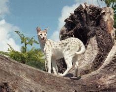 A white Serval cat.