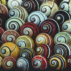 Im Laufe ihrer Entwicklung haben es die Gehäuseschnecken zu einer immensen Vielfalt an Formen und Farben gebracht. Trotz ihrer langsamen Gangart verbreiten sich die Bauchfüßler in evolutionärer Rekordzeit über Meere und Kontinente – Diese Karte hier online kaufen: http://bkurl.de/pkshop-212005 Art.-Nr.: 212005 Schnecken | Foto: © James Carmichael jr. | Text: Rolf Bökemeier