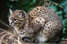 Geoffroys cat (Leopardus geoffroyi)