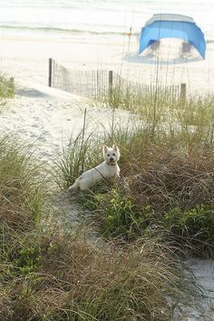 my Westie loves the beach