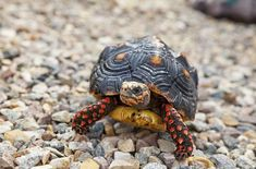 The Red Footed Tortoise is one of the most popular tortoise breeds. This tortoise has a curious personality, and is a good choice for beginners. Tortoise As Pets, Red Footed Tortoise, Tortoise Food, Tortoise Habitat, Baby Tortoise, Sulcata Tortoise, Tortoise Care, Tortoise Turtle, Reptiles