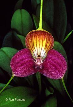 Masdevallia caudata ,orchid endemic to easternmost Colombia and adjacent Venezuela.