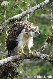 Hunting in pairs, one Philippine eagle will act as a decoy, while the other swoops in with a surprise attack on a group of monkeys