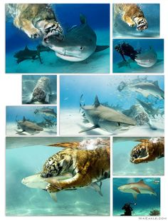 """Tigers vs. Tiger Sharks"". Photo Manipulation. 2011."