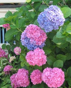 Hydrangeas!  With regular feeding, a spot in semi-shade and occasional anti fungal spray, they're dead simple to care for. Want blue? Toss acid into the soil. Want pink? Toss alkaline into the soil... (white/green are a different breed altogether and will not change).