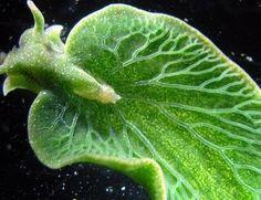 El único animal que realiza la fotosíntesis es este: http://www.muyinteresante.es/naturaleza/articulo/el-unico-animal-que-realiza-la-fotosintesis-911423143725