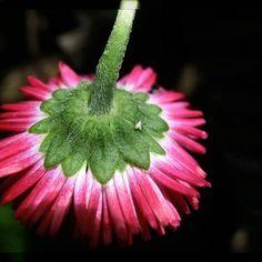 Madeliefje...up side down...een andere kijk op het bloemetje 🌸  .  .  .  .  .  .  .  .  #flower #flowers #flowerstagram #igs_photos #ig_photooftheday #ig #macro_perfection #macro_captures