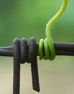 tendril of barbwire