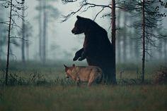 Wildlife photographer Lassi Rautiainen captured these incredible photos in Finland. (Photo: Imgur)