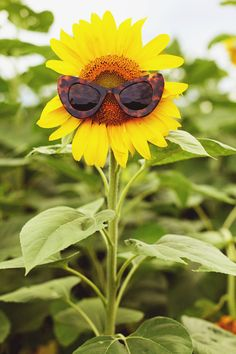 This would be you, If you were a Sunflower .