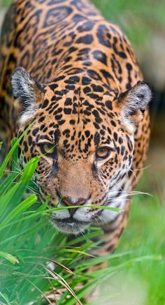 Big Cats - Jaguar hiding behind vegetation. - title Bess observing me! Beautiful Cats, Animals Beautiful, Big Cats, Cats And Kittens, Cats Meowing, Animals And Pets, Cute Animals, Baby Animals, Gato Grande