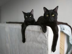 My two black cats have two very different personalities. Cat Having Kittens, Cats And Kittens, Animals And Pets, Baby Animals, Cute Animals, White And Black Cat, Black Cats, Black Kitty, Cat Run