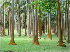 Île de la Réunion - palmistes anse des Cascades