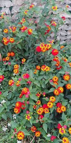 Lantana camara: how and when to grow a thousand-colored plant, to create wonderful and fragrant bushes , Perennial Flowering Plants, Garden Plants, House Plants, Perennials, Lantana Plant, Home Landscaping, Tropical Landscaping, Lantana Camara, Chlorophytum