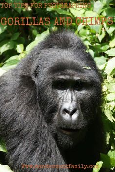 Top tips for taking amazing photographs while gorilla and chimp trekking