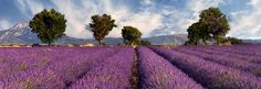 French Lavender Fields | 20 Stunning Pictures Of French Lavender Fields