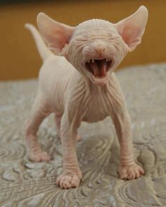 Baby Hairless Kitten!