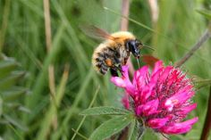 Yellow tailed bumble bee with tongue in red clover by EWin1, via Flickr