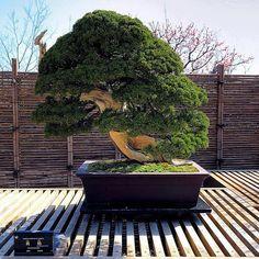 250 years old Beautiful Bonsai Tree.