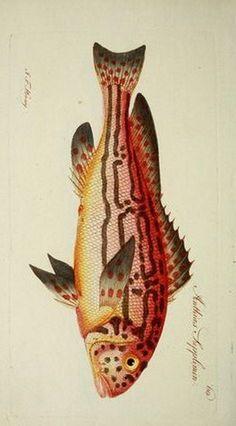No recuerdo haber publicado láminas de peces, pero con la cantidad de posts publicados puede que sí. Me han encantado estas láminas de pece...