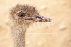 Portrait of a scruffy male ostrich with copy space. Shallow Depth of Field Snatch Stock Images - Stock Photography | Vectors | Graphics | Videos