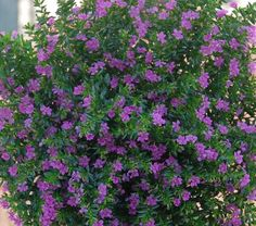 Cuphea hyssopifolia (false heather, Mexican heather, Hawaiian heather or elfin herb) is a small evergreen shrub native to Mexico, Guatemala and Honduras. Description from snipview.com. I searched for this on bing.com/images