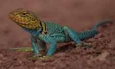 The Collared Lizard