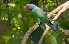 Layard's Parakeet (Psittacula calthropae) - photo by Pathmanath Samaraweera, via orientalbirdimages;  Found in Sri Lanka. The adult has a bluish-grey head and back, separated by a green collar. There is a broad black chin stripe and the tail is blue tipped yellow. The upper mandible of the male's bill is red and the lower mandible is brown. The female is similar, but has an all black beak and less green on the face than the male.   - info from Wikipedia