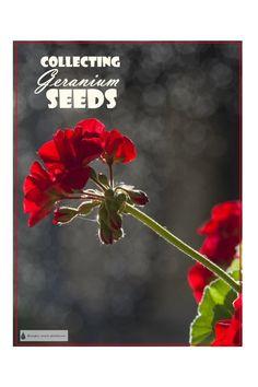 Seeds - Pelargonium Propagation Learn all about Collecting Geranium Seeds.Learn all about Collecting Geranium Seeds. Growing Geraniums, Geraniums Garden, Growing Flowers, Garden Plants, Planting Flowers, Potted Plants, Overwintering Geraniums, Planting Plants, Backyard Plants